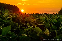 Soybeans at Daybreak.