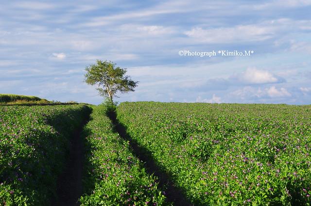 エンドウ豆の路