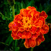 Orange/red/yellow marigold