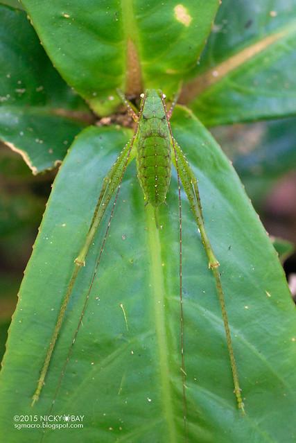 Katydid (Tettigoniidae) - DSC_5397