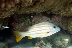 Stripey Snapper - Photo (c) John Turnbull, some rights reserved (CC BY-NC-SA)
