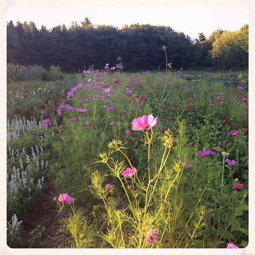 Another moment to squirrel away for next February #Brookfieldfarm #summer #joy #cosmos #eveninglight #mytown #amherstma #westernma