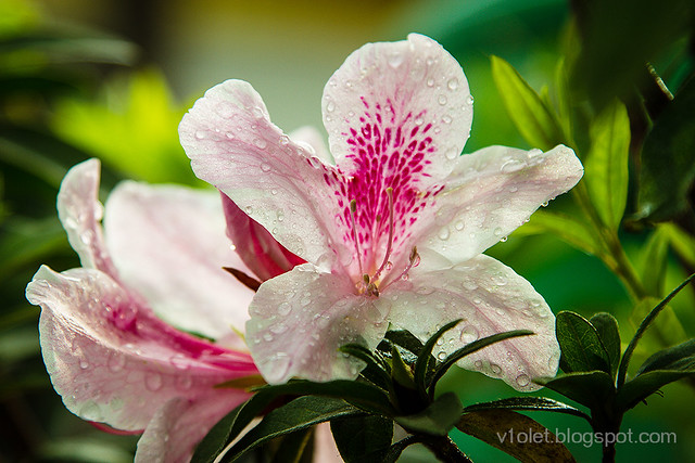 Rhododendron1-0014rw