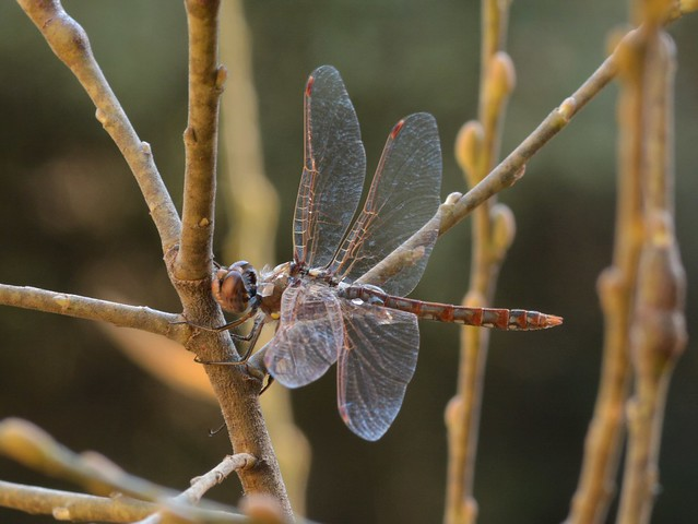 Variegated Meadowhawk (Sympetrum corruptum) dragonfly on Arroyo Willow