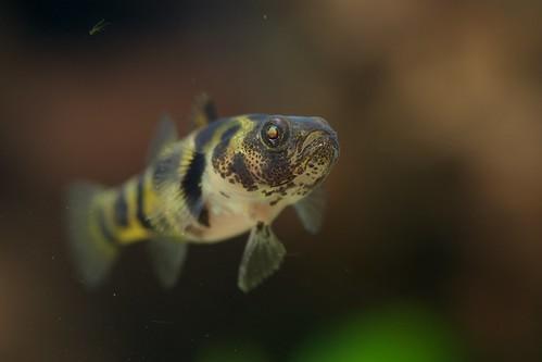 """Brachygobius cf xanthomelas """"ozelot"""""""