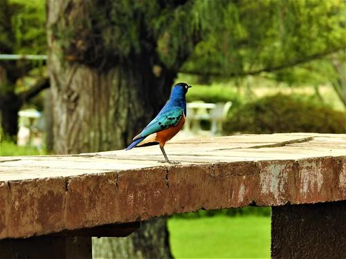 superb starling lamprotornis superbus bird kenya naivasha
