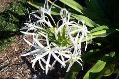 shrub(0.0), flower(1.0), hymenocallis littoralis(1.0), plant(1.0), wildflower(1.0), flora(1.0),