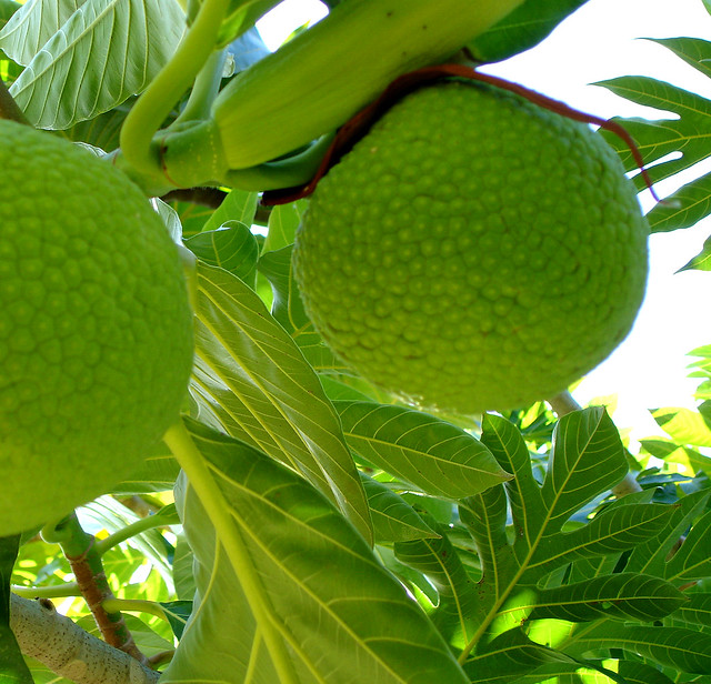 Breadfruit tree (detail)