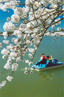 Paddlers (Cherry Blossoms, Washington)