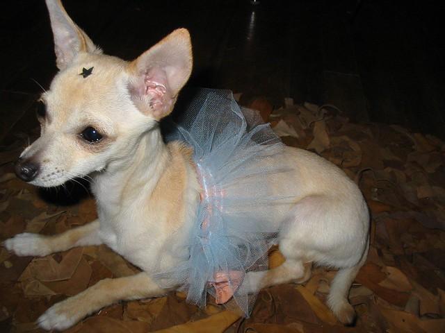 Cute Puppy Girl Chihuahua Wearing a Dress