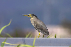 heron(0.0), wildlife(0.0), animal(1.0), wing(1.0), fauna(1.0), green heron(1.0), beak(1.0), bird(1.0),