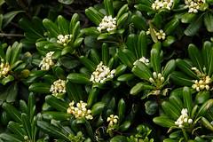 Pittosporum tobira siepi pittosporaceae for Pitosforo siepe