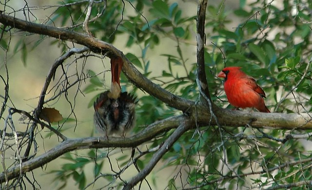 Cardinals Mating ritual | Flickr - Photo Sharing!