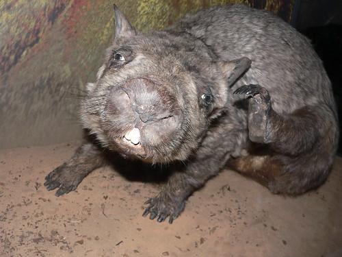 瀕臨絕種的北方毛鼻袋熊。(來源:jade)