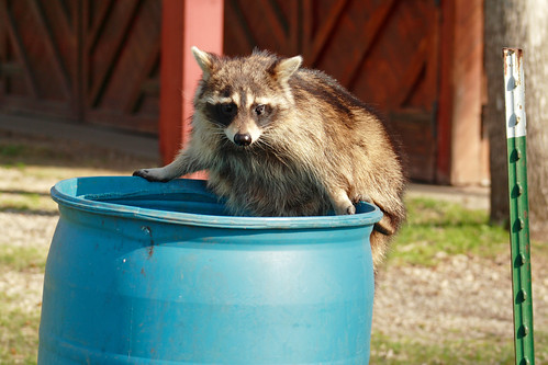 Photo of a raccoon on a trash can