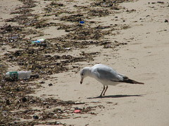 Sea Gull with Garbage