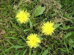 prairie, dandelion, flower, yellow, plant, sow thistles, flatweed, herb, wildflower, flora,