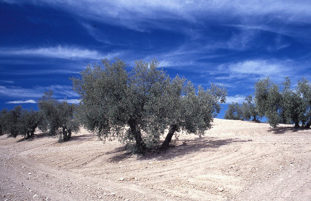 Olives trees, Andalucia, Spain