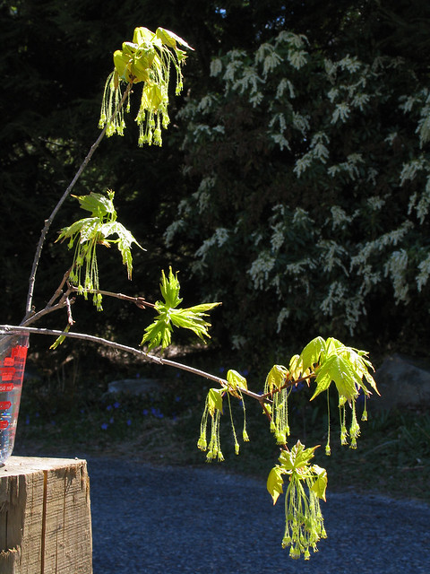 Acer Saccharum Flowers (how to)