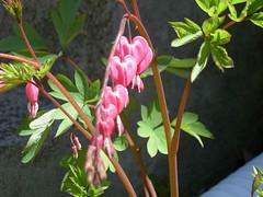 honeysuckle, flower, plant, flora, fuchsia,