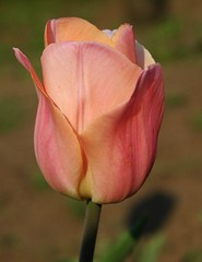 Tulips'06.