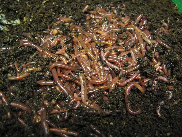 Red wigglers the cadillac of worms flickr photo sharing for Fishing worms for sale
