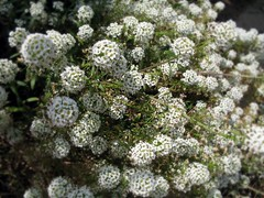 yarrow, shrub, flower, candytuft, plant, subshrub, flora, produce,