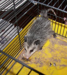 domesticated hedgehog(0.0), erinaceidae(0.0), wildlife(0.0), animal(1.0), opossum(1.0), virginia opossum(1.0), common opossum(1.0), mammal(1.0), fauna(1.0), whiskers(1.0),