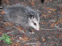 viverridae(0.0), animal(1.0), opossum(1.0), virginia opossum(1.0), possum(1.0), common opossum(1.0), mammal(1.0), fauna(1.0), whiskers(1.0), wildlife(1.0),