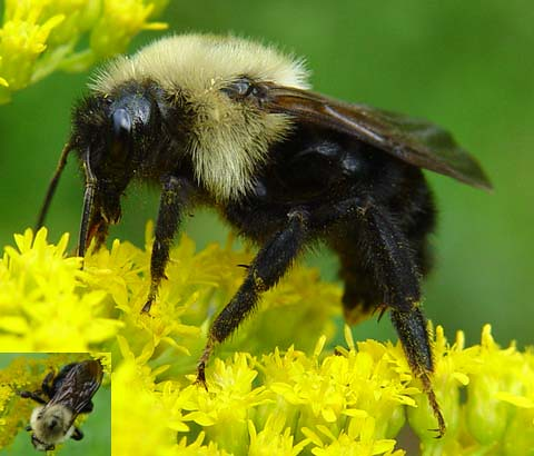 Large Yellow And Black Beeelectronic Jacket Repellentwhat Can Buy To Get Rid Of Bed Bugsred Wasp Scientific Name
