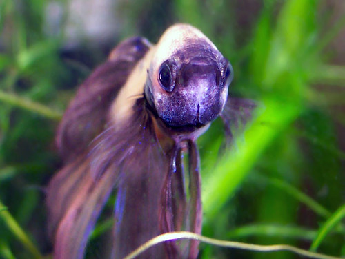 The many faces of dropsy fish care for Betta fish dropsy