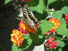 nectar(0.0), pollinator(1.0), annual plant(1.0), animal(1.0), moths and butterflies(1.0), butterfly(1.0), flower(1.0), leaf(1.0), plant(1.0), invertebrate(1.0), flora(1.0), fauna(1.0), lantana camara(1.0),