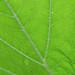 Pumpkin Leaf (Underneath)