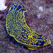 Hypselodoris - Photo (c) Alfonso González, some rights reserved (CC BY-NC-ND)