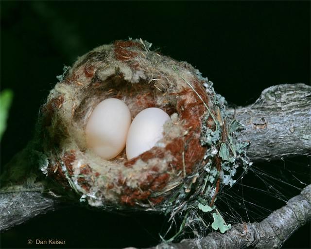 Ruby Throated Hummingbird Nest Eggs By Dan Kaiser Flickr