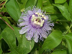 blossom(0.0), giant granadilla(0.0), produce(0.0), flower(1.0), purple passionflower(1.0), plant(1.0), wildflower(1.0), flora(1.0), passion fruit(1.0),