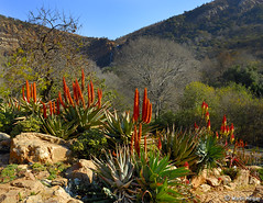 Aloes - Winter 2006 - South Africa