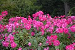 rosa wichuraiana, annual plant, shrub, garden roses, floribunda, flower, garden, plant,