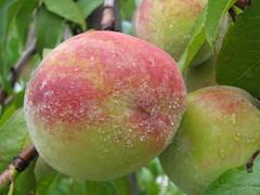 peach, fruit, nectarine,
