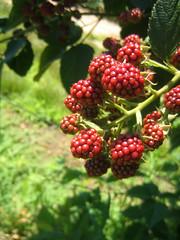 blackberry, evergreen, berry, wine raspberry, flora, loganberry, fruit, boysenberry, bramble,