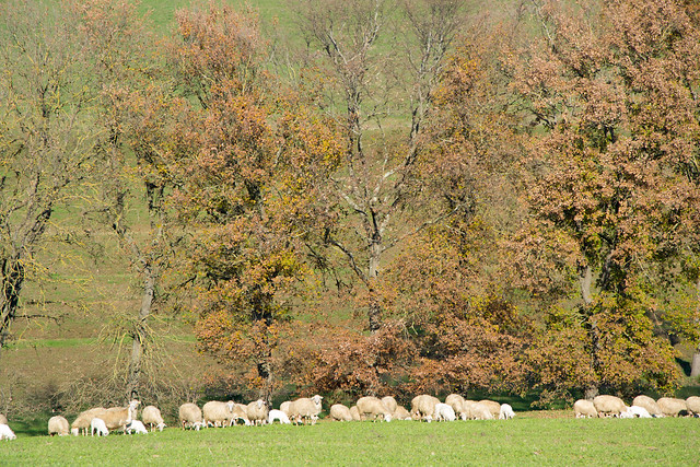 loud bleating and grazing sheep