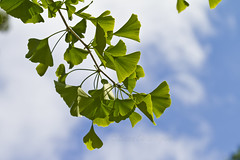 Ginkgo Trees and Leaves
