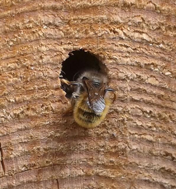 Mason bee entering my bee hotel.
