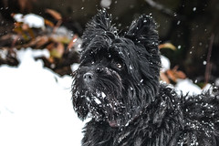dog breed, animal, dog, schnoodle, pet, mammal, schnauzer, affenpinscher, black, terrier,