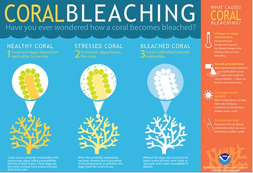 珊瑚白化過程示意圖。 圖片來源:NOAA