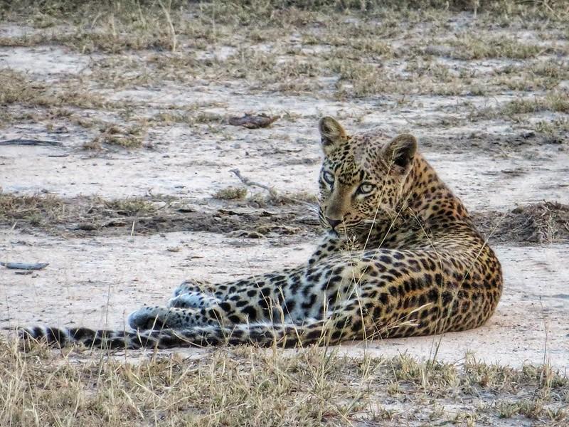 A resting leopard at MalaMala