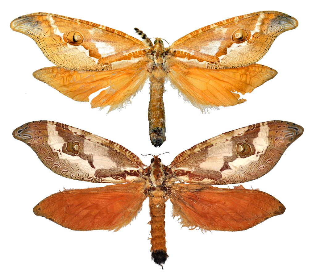 Comparison of 2015 and 1920 Zelotypia stacyi