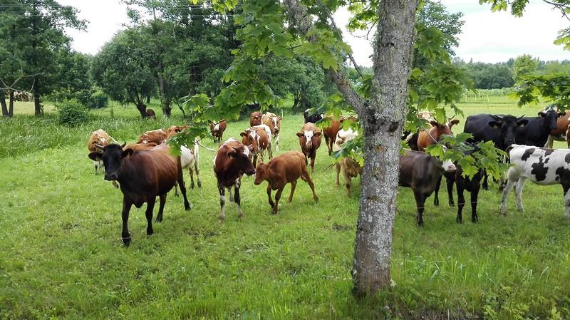 Dikti draudzīgas govis
