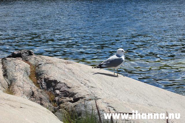 Our friend the Mås - photo by iHanna of www.ihanna.nu