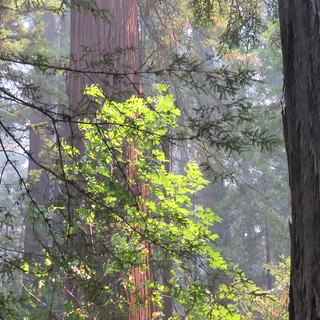Humboldt Redwoods, Founders Grove in smoky light